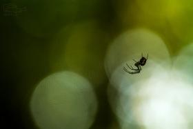 Pavouček (Araneae)  Mírně podexponováno, pro zdůraznění siluety objektu.