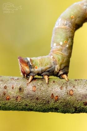 Píďalka (Geometridae)