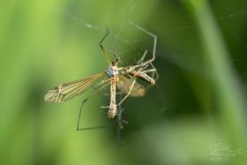 Tiplice (Tipula sp.)   Tiplici se zapletla do sítě čelistnatky. Dlouhonozí tvorové svádí souboj, tiplice prohrála.