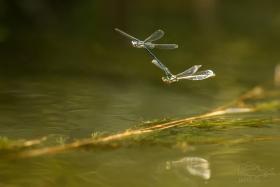 Šídélko brvonohé (Platycnemis pennipes) Pár šidélek v letu nad vodní hladinou.