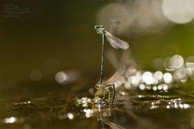 Šídélko brvonohé (Platycnemis pennipes) Kladení vajíček do prosluněné řeky.