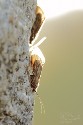 Chrostíci (Trichoptera)