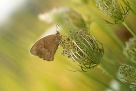 Okáč hnědý (Coenonympha hero)
