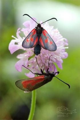 Vřetenuška obecná (Zygaena filipendulae)