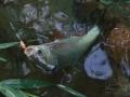 Jelec jesen (Leuciscus idus)