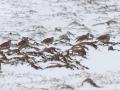Koroptev polní (Perdix perdix)