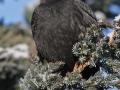 Kos černý (Turdus merula)