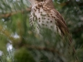 Drozd zpěvný (Turdus philomelos)