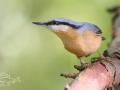 Brhlík lesní – Sitta europaea