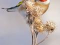 Stehlík obecný (Carduelis carduelis)