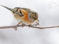 Pěnkava jikavec (Fringilla montifringilla)