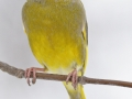 Zvonek zelený (Carduelis chloris)