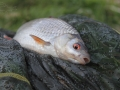 Plotice  obecná (Rutilus rutilus)