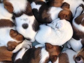 Foxteriér hladkosrstý (Fox Terrier Smooth)