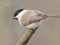 Sýkora babka (Parus palustris)