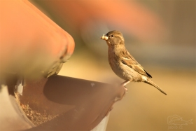 Vrabec domácí (Passer domesticus)
