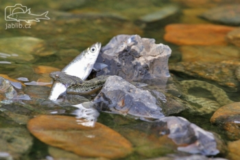 Užovka podplamatá (Natrix tessellata)
