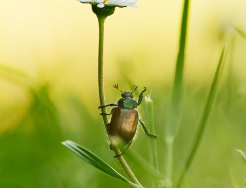 Listokaz zahradní