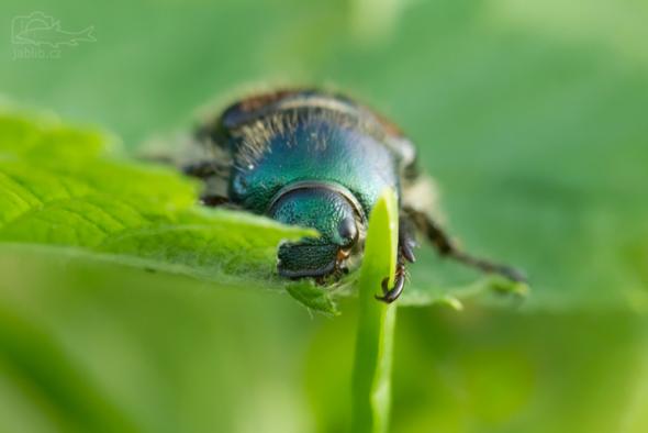 Listokaz zahradní (Phylloperta horticola)