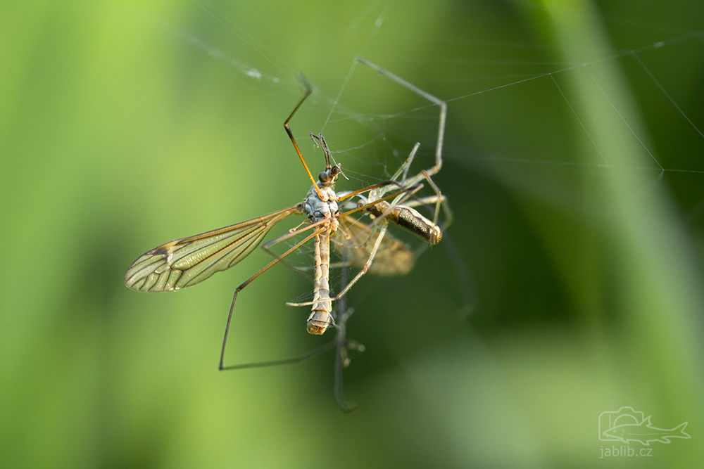 Tiplice (Tipula sp.)