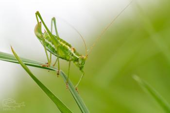 Kobylka tečkovaná (Leptophyes punctatissima)