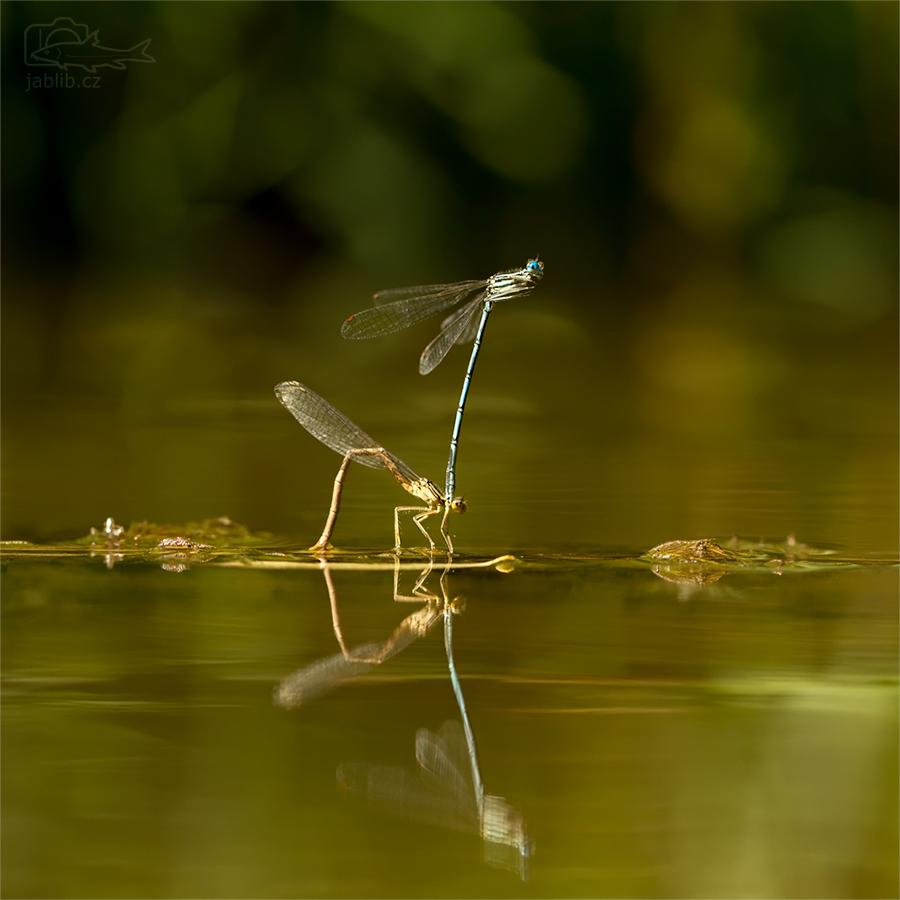 Šídélko brvonohé (Platycnemis pennipes)