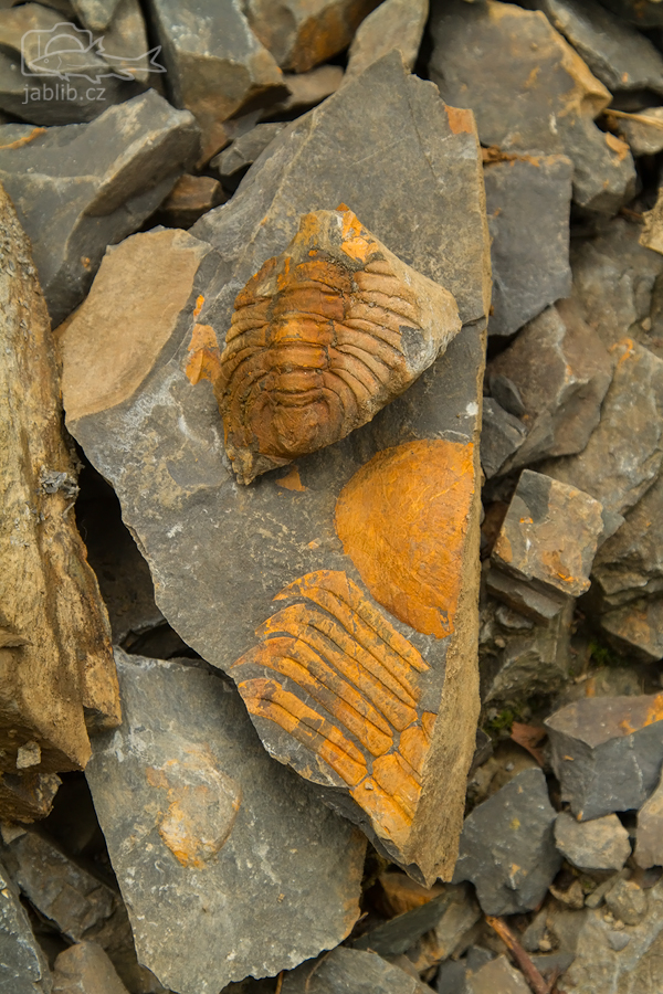 Trilobit (Trilobitoidea), pravděpodobně druh <i>Hydrocephalus carens</i>