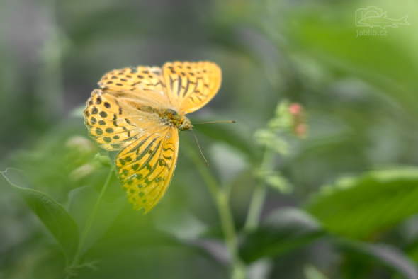 Perleťovec stříbropásek (Argynnis paphia)