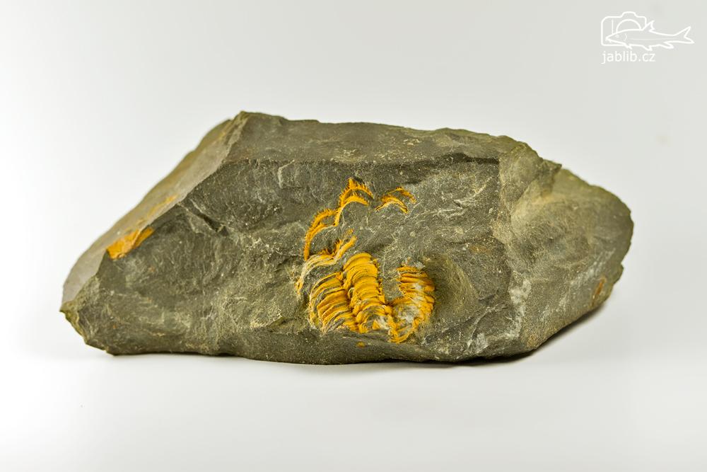 Trilobit (Trilobitoidea)
