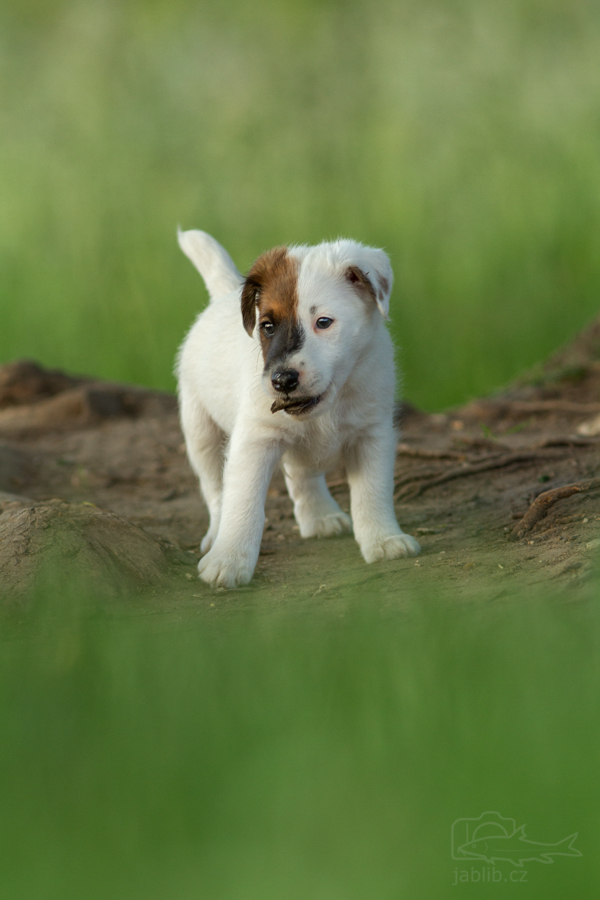 Foxteriér hladkosrstý (Fox Terrier Smooth)