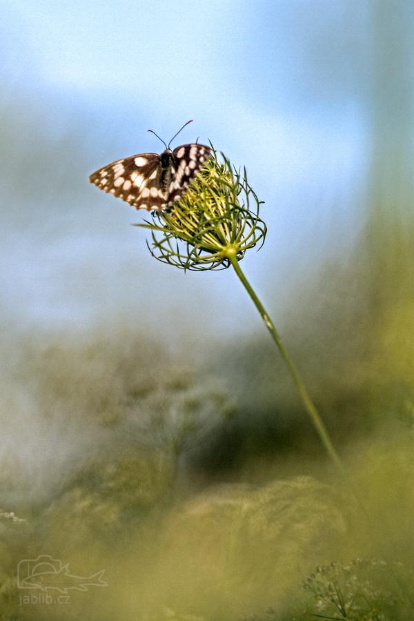 Okáč bojínkový (Melanargia galathea)