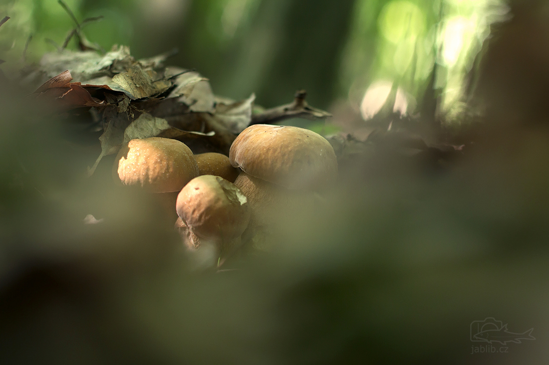 Hřib dubový (Boletus reticulatus)