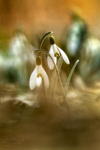 Sněženka podsněžník (Galanthus nivalis)