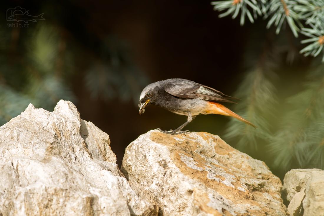 Rehek domácí (Phoenicurus ochruros)