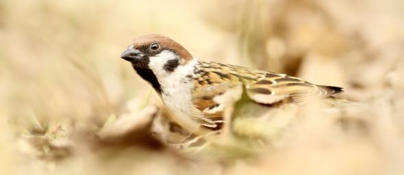 Vrabec polní (Passet montanus)