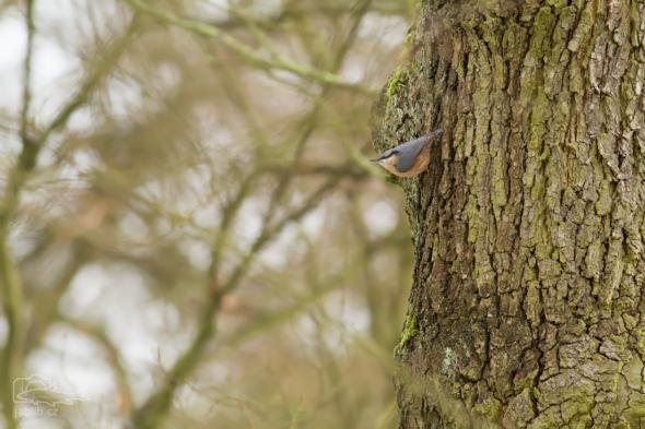 Brhlík lesní (Sitta europaea)