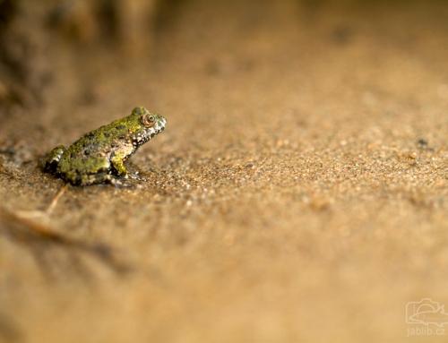 Ještěrka a žába