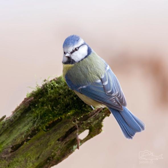 Sýkora modřinka (Cyanistes caeruleus)