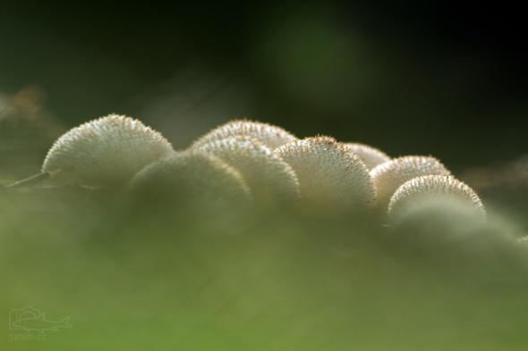 Pýchavka obecná (Lycoperdon perlatum)