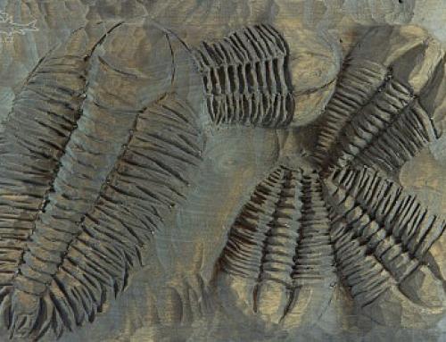 Trilobiti ze zkamenělé břízy
