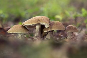 Kozák habrový (Leccinum carpini)