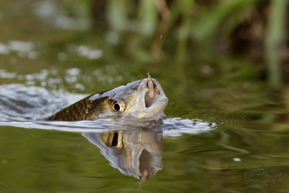 Jelec tloušť (Leuciscus cephalus)