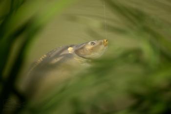 Kapr obecný (Cyprinus carpio)