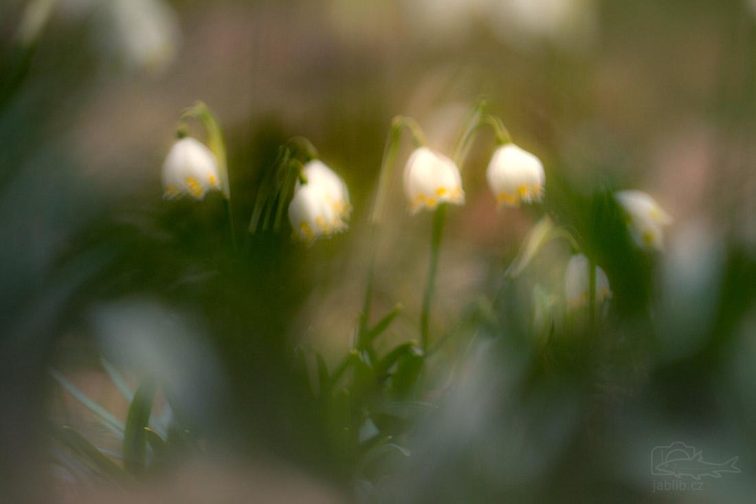 Bledule jarní (Leucojum vernum)