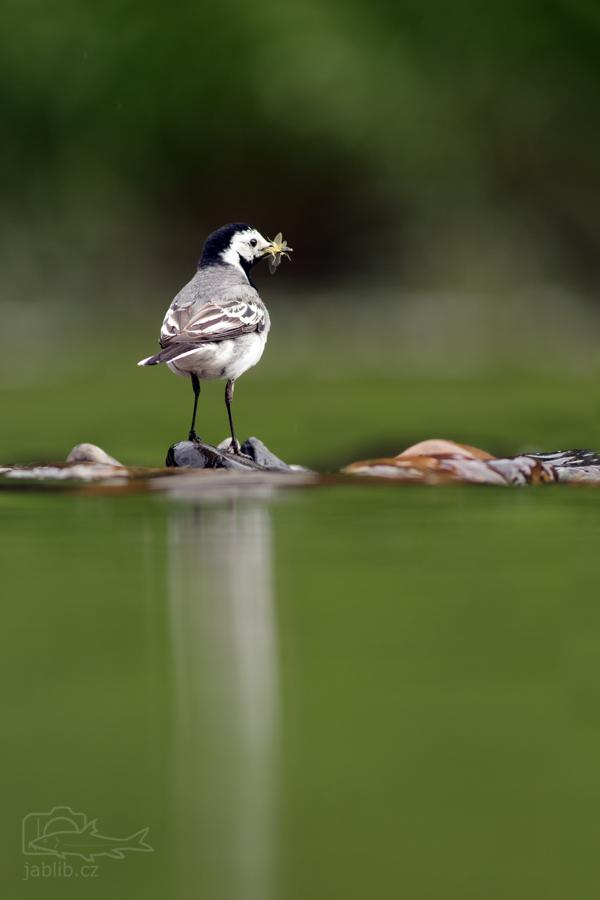Konipas bílý (Motacilla alba)