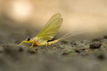 Jepice žlutá (Potamanthus luteus)