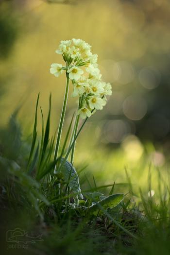 Prvosenka jarní - petrklíč (Primula veris)