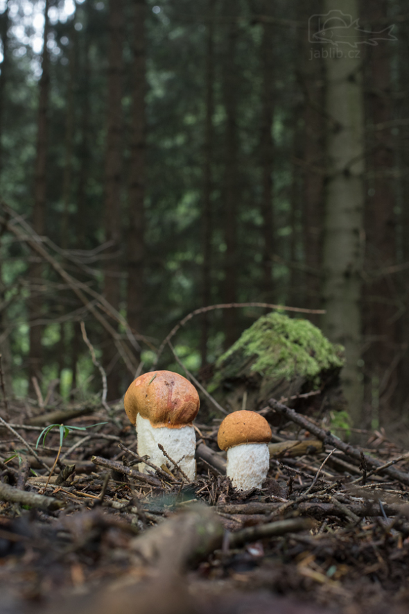 Křemenáč osikový (Leccinum rufum)