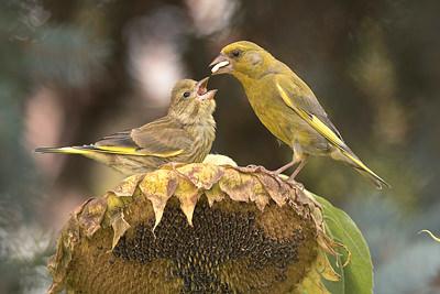 Zvonek zelený při krmení mladých