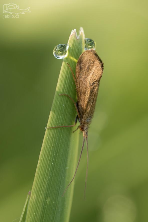 Chrostík (Trichoptera), imago